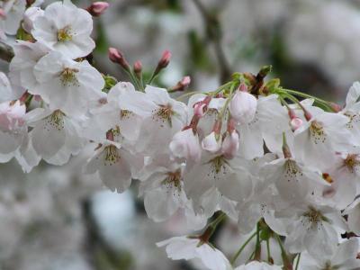 Sakura070403